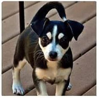 Chihuahua Mix Puppy for adoption in Hazlet, New Jersey - Carly