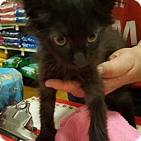 Domestic Mediumhair Kitten for adoption in Alhambra, California - Dale