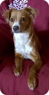 Chihuahua/Cavalier King Charles Spaniel Mix Dog for adoption in Campbell, California - Noel