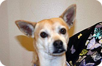 Chihuahua Mix Dog for adoption in Wildomar, California - Elliot