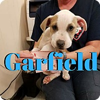 Pit Bull Terrier/American Staffordshire Terrier Mix Puppy for adoption in College Station, Texas - Garfield