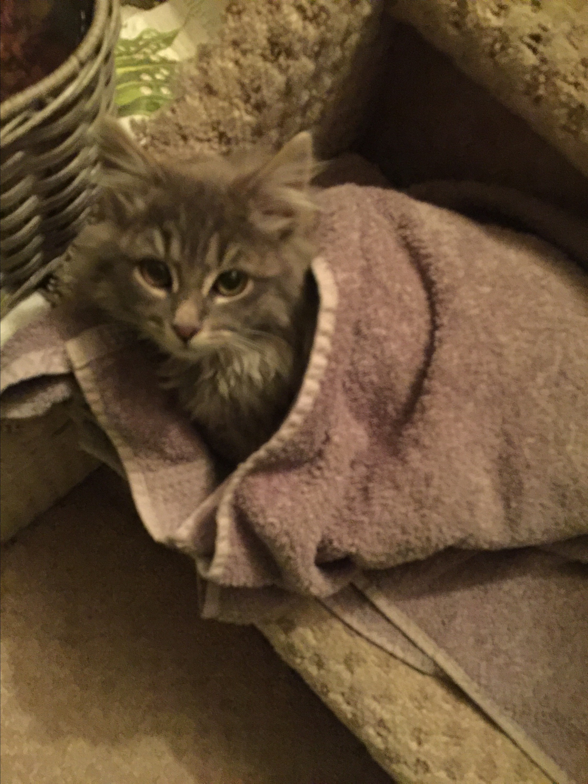 Adopt A Maine Coon Cat Nj