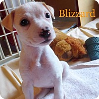 Adopt A Pet :: A Blizzard Girl 'Rose's pup' - Los Angeles, CA