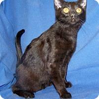 Adopt A Pet :: K-Meadows3-Thom - Colorado Springs, CO