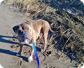American Pit Bull Terrier Mix Dog for adoption in bridgeport, Connecticut - Meatball