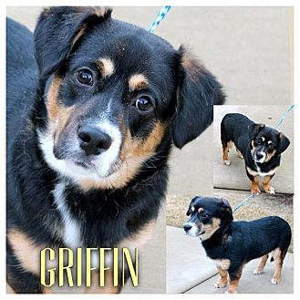 Corgi/Basset Hound Mix Dog for adoption in Garden City, Michigan - Griffin