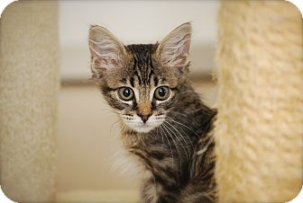 Domestic Longhair Kitten for adoption in Trevose, Pennsylvania - Gizmo