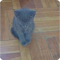 Adopt A Pet :: gray kitten - Etobicoke, ON