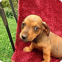 Adopt A Pet :: Tara - Warrenton, NC