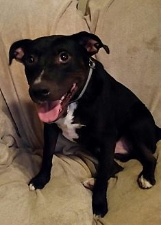 Pit Bull Terrier Mix Dog for adoption in White Settlement, Texas - Tank