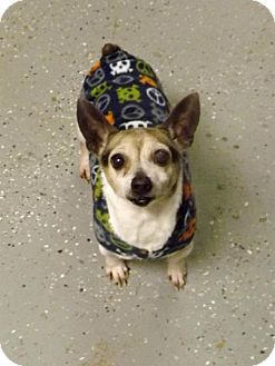 Chihuahua/Jack Russell Terrier Mix Dog for adoption in Shelbyville, Tennessee - Sage