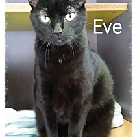 Domestic Shorthair Cat for adoption in Lexington, Kentucky - Eve