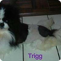 Adopt A Pet :: Trigg - House Springs, MO