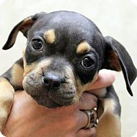 Adopt A Pet :: Kylie - Ft. Lauderdale, FL