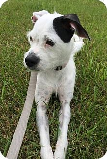 Jack Russell Terrier Dog for adoption in Livonia, Michigan - Zoee  ♥ - ADOPTED