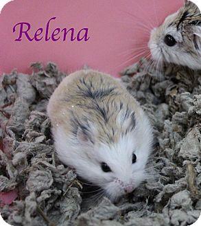 Hamster for adoption in Bradenton, Florida - Relena