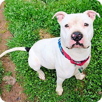 American Staffordshire Terrier Dog for adoption in Sidney, Maine - Zeke
