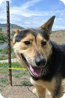 Shepherd (Unknown Type) Mix Dog for adoption in Durango, Colorado - Tom