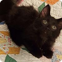 Adopt A Pet :: Leo - Highland, IN
