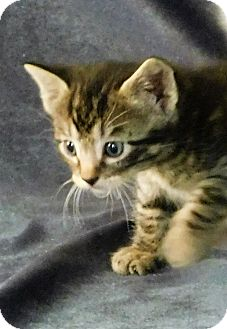 Domestic Shorthair Kitten for adoption in Montgomery City, Missouri - Orion