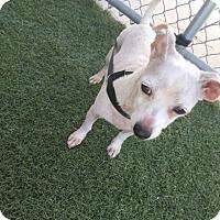 Adopt A Pet :: Tiki - Chula Vista, CA