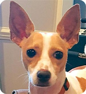 Rat Terrier Dog for adoption in Raleigh, North Carolina - Odie (NC)