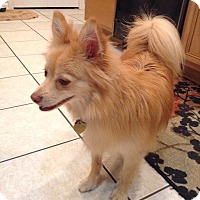 Pomeranian Dog for adoption in Jacksonville, Florida - Bella/Pomeranian