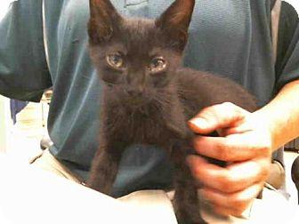 Domestic Mediumhair Kitten for adoption in Plano, Texas - HERMAN