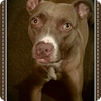American Pit Bull Terrier Dog for adoption in Akron, Ohio - R Rescue Mocha