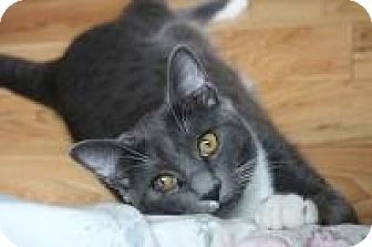 Domestic Shorthair Kitten for adoption in San Carlos, California - Ollie