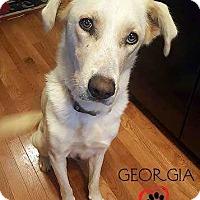Labrador Retriever/Husky Mix Dog for adoption in Council Bluffs, Iowa - Georgia (Medical Hold) - Pending Adoption