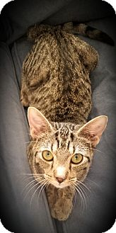Domestic Shorthair Kitten for adoption in Fairborn, Ohio - Natalia