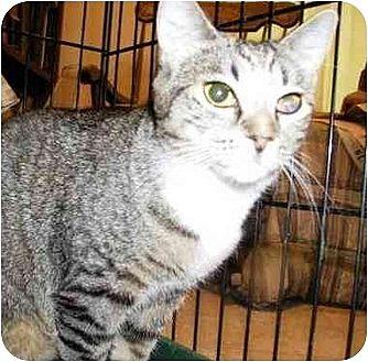 Domestic Shorthair Cat for adoption in East Stroudsburg, Pennsylvania - Jessie