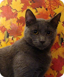 Domestic Shorthair Cat for adoption in Albany, New York - Tiger