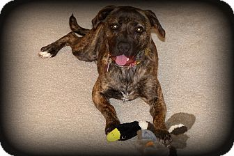 Dutch Shepherd Mix Dog for adoption in Sinking Spring, Pennsylvania - Penny