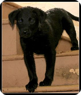 Labrador Retriever Mix Puppy for adoption in Detroit, Michigan - Giddy
