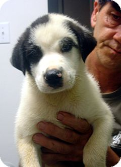 Labrador Retriever/Great Pyrenees Mix Puppy for adoption in baltimore, Maryland - Chevy