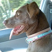 Adopt A Pet :: Hershey - Brattleboro, VT
