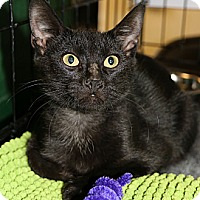 Domestic Shorthair Cat for adoption in Plano, Texas - TATER TOT - SONIC BABY BOY!!!
