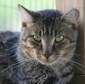 Domestic Shorthair Cat for adoption in North Fort Myers, Florida - Boo
