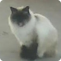Himalayan Cat for adoption in Lincoln, Nebraska - Monkey