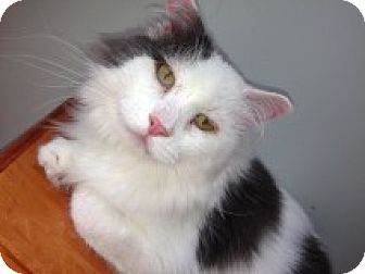 Maine Coon Cat for adoption in Bryn Mawr, Pennsylvania - Jack Frost/MAINE COON