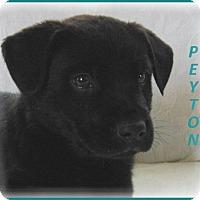 Adopt A Pet :: Peyton-Adoption Pending - Marlborough, MA