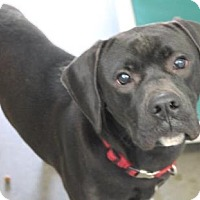 American Pit Bull Terrier Mix Dog for adoption in Fulton, Missouri - Shadow *Kentucky
