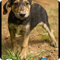 Adopt A Pet :: Sage (Pom-dc) - Allentown, PA