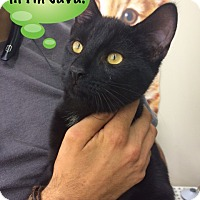 Adopt A Pet :: Java - Devon, PA