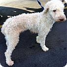 Adopt A Pet :: Gracie Poodle