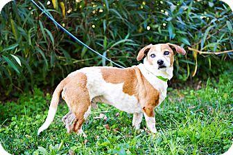 Beagle/Dachshund Mix Dog for adoption in Houston, Texas - Chaparro