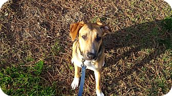 Foxhound/German Shepherd Dog Mix Dog for adoption in Lodi, California - Piper