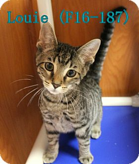 American Shorthair Kitten for adoption in Tiffin, Ohio - Louie